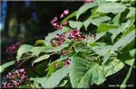 赤い羽根が成る木 秋を彩る風物詩 クサギ(臭木)の実