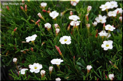 紅白縞々のパラソル 冬のオキザリス 「ウェルシコロル」