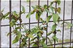 晩秋に大量の実を付けるヘクソカズラ(サオトメカズラ)