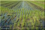 収穫されることがない二番穂を野鳥がついばむ冬の田圃