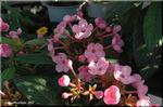 花の少ない季節に嬉しい 濃色ルクリア 「スイートルビー」