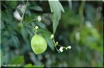 蔓に緑色の紙風船が生るようなフウセンカズラ(風船葛)
