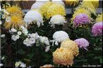 一年を通してコツコツと丹誠を込めて育てる菊花の輝き