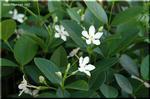 咲き続けた白い花 実は夏が似合うセイロンライティア