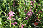 可愛らしいピンク色の五芒星 「プーリンダエクスタシー」