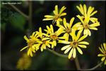 初冬に嬉しい輝く黄色い花 庭の隅に咲くツワブキ(石蕗)