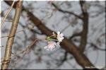 薄紅色で多花弁を持つ十月桜は気の長い咲き方をします
