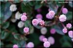 ピンクの花が地面を覆う 花期が長くて丈夫なヒメツルソバ