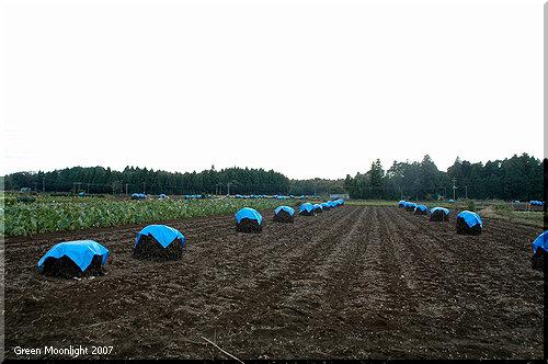 広い黒土の畑に点在する不思議な小山 落花生ぼっち