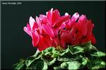 寒い季節に暖を届ける篝火を彷彿とさせる花 シクラメン