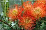 お馴染み!南アフリカの不思議植物 赤いピンクッション