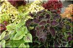 独特で多彩な色の組み合わせが花壇を飾る コリウス