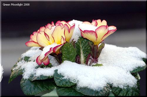 園芸品種が増え続ける 多彩で丈夫なプリムラ・ジュリアン