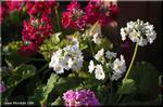 茎が立ち上がって段咲きになる プリムラ・マラコイデス