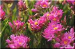 豪州原産の可憐で有益な植物 ヘリクリサム「かんざし姫」