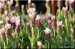 一面に咲かせたい イタリアン・ラベンダー 「ラッフルズ」