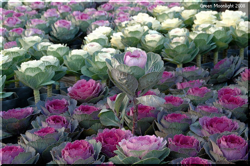 花を咲かせる前に花壇から消えていく ハボタン(葉牡丹)