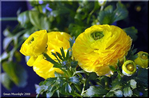 豪華絢爛な大輪を咲かせる早春の花 ラナンキュラス