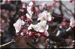 桜に追いつかれそう 懸命に淡い花を競い咲かせる紅梅