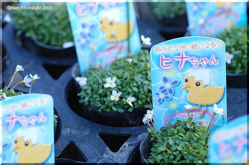 小さな花をいっぱい咲かせて春を呼ぶ ヒナソウ(雛草)