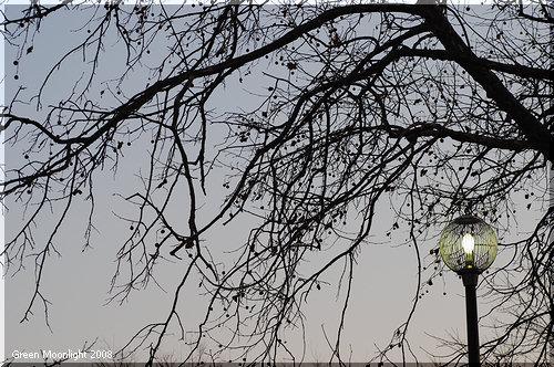 並木には向かないプラタナス アメリカスズカケノキの巨木