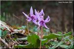 薄紅の花が溢れる春の妖精カタクリは氷河期の忘れもの