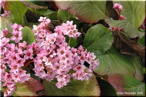 丈夫で日陰でも良く育って扱いやすい ヒマラヤユキノシタ