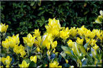 春、鮮やかな黄金色の葉が彩り賑わう オウゴンマサキ
