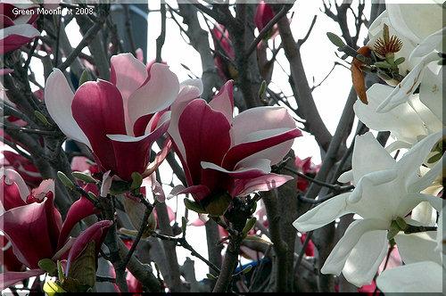 青空に気品のある花を咲かせるモクレンwithハクモクレン