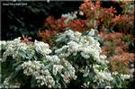 風に揺れる乳白色の花をたくさん咲かせるアセビ(馬酔木)
