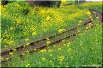 菜の花が咲く小さな町 ゆったりと曲がっていく線路にて