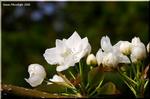 明るい日差しを受けて凛々しい白い花を咲かせる梨の花