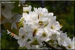 明るい日差しを受けて凛々しい白い花を咲かせる梨の花'