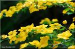 鮮やかな黄金色の花が重そうな程に咲くヤマブキ(山吹)
