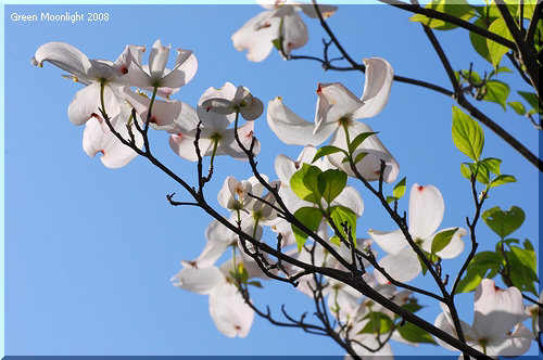 桜後の街角をさりげなく彩る淡い色の花木 ハナミズキ