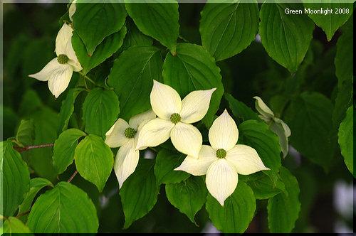 ハナミズキが花を終えるのを待って咲き出す ヤマボウシ