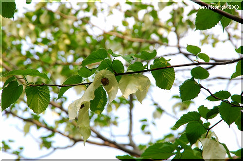 中国から来た変わりダネ植物 大人気の「ハンカチの木」