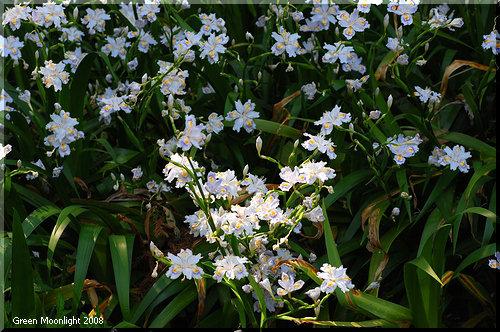 小さめの花を次々に咲かせる森林の淡いアヤメ シャガ