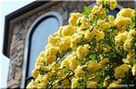 大きな家にも小さな家にも映えそうな黄色いモッコウバラ
