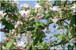 澄んだ青空によく似合う赤みを帯びたりんごの白い花