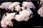 春の薔薇が咲き出す季節 庭が狭くて眺めるだけ(笑)