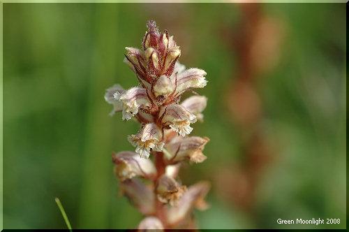 葉を退化させ、茎には花ばかりの寄生植物 ヤセウツボ