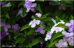 不思議な名を持つ初夏の花 ニオイバンマツリ(匂蕃茉莉)