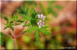 淡い紅色の小さな花を咲かせる帰化植物 アメリカフウロ