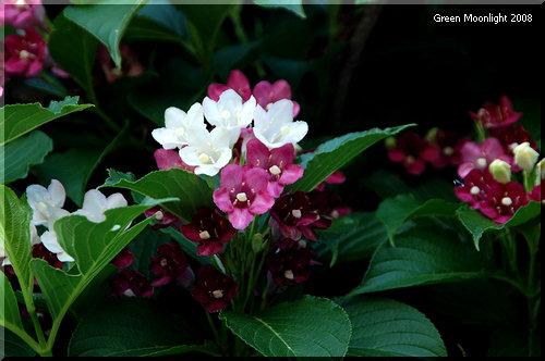 白く咲き、赤く色づいていく花木 ハコネウツギ(箱根空木)