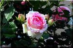 堂々とした蔓性薔薇のスター ピエール・ドゥ・ロンサール