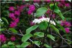 ガクアジサイに似た白い花を咲かせる低木 オオカメノキ