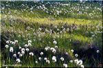 風になびく白い綿毛 高層湿原と風情あるワタスゲの群落