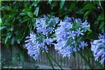 夏の初めに咲き始めるブルーな「愛の花」 アガパンサス