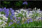 本日、撮れたて! 猛暑の公園で咲く白いアガパンサス